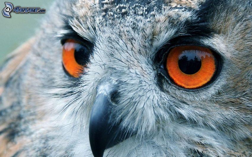 sova, oči, zobák
