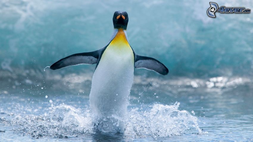tučniak, krídla, voda