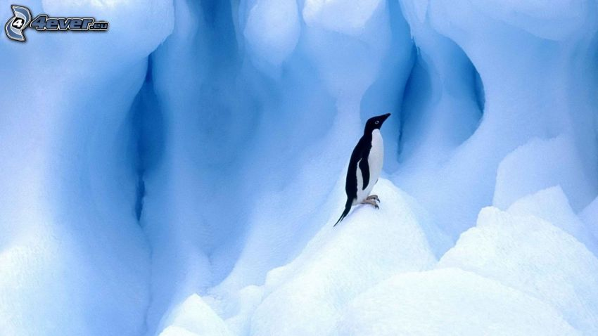 tučniak, ľad