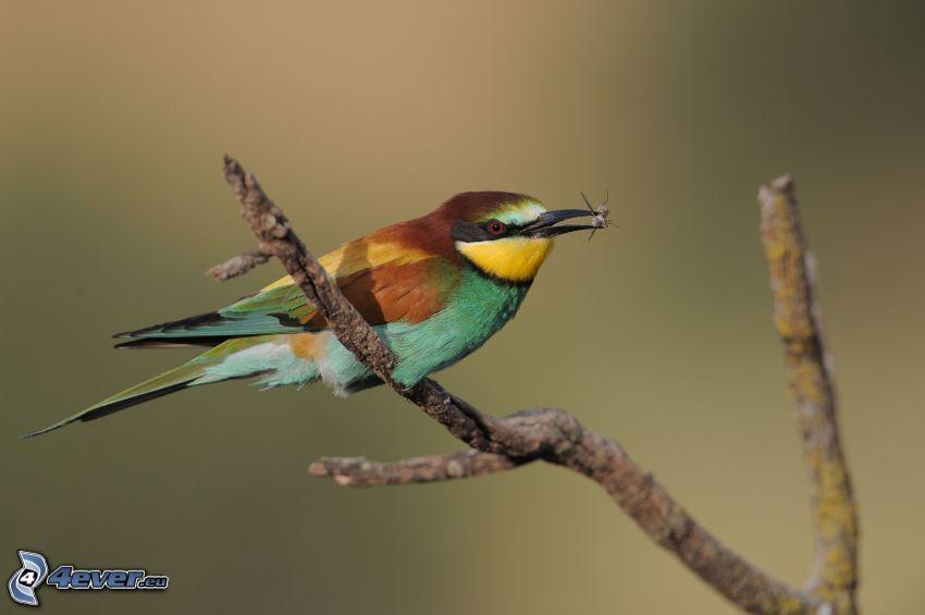 včelárik zlatý, vtáčik na konári