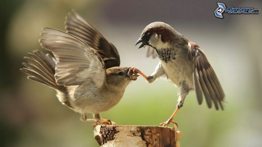 vrabce, peň