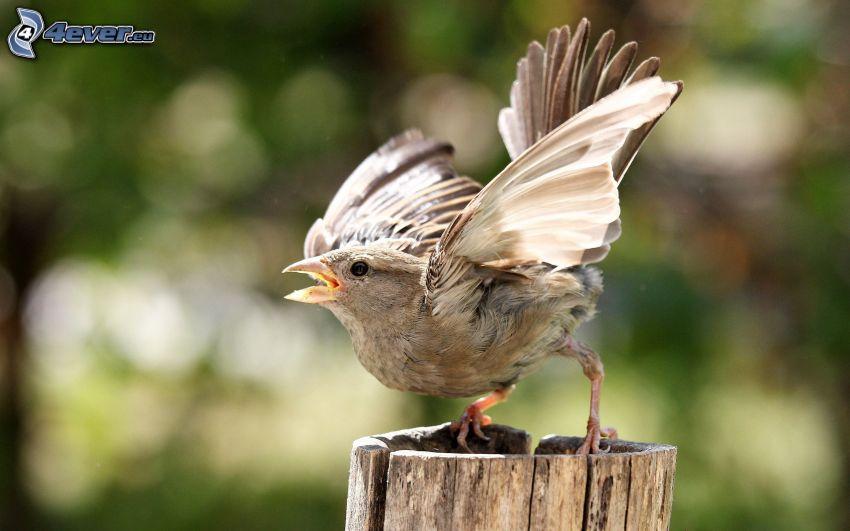 vrabec, krídla, peň
