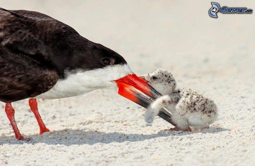 vták, mláďa