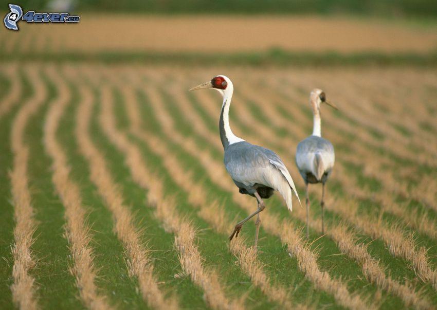 vtáky, pole