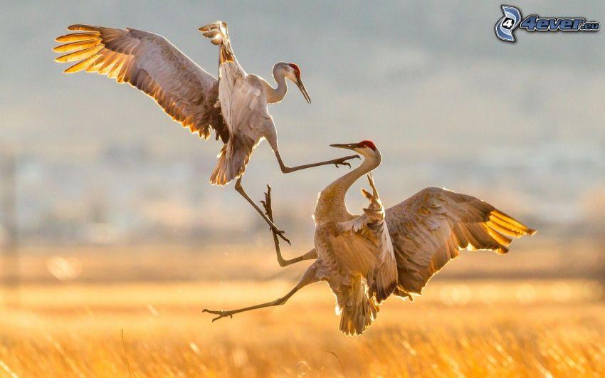 vtáky, súboj