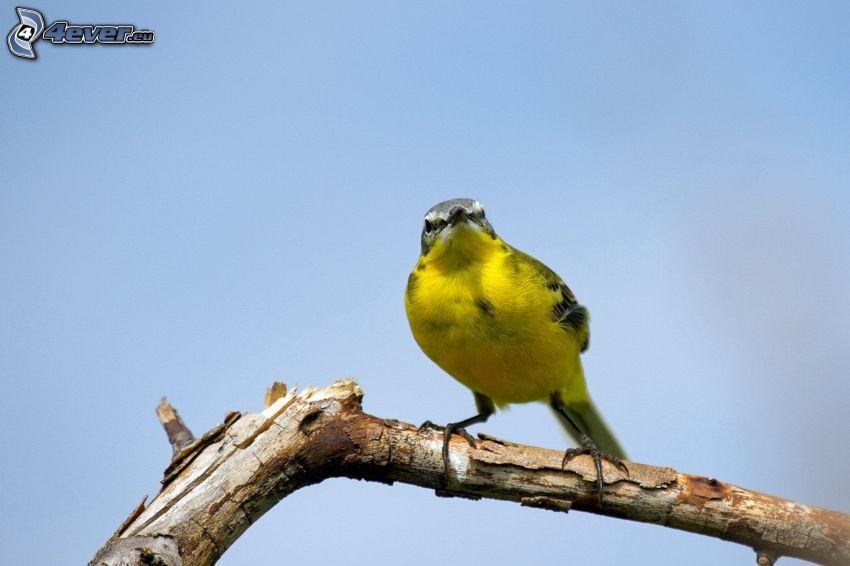 žltý vtáčik, drevo