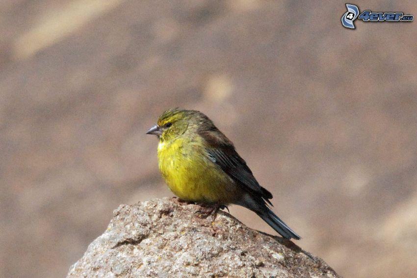 žltý vtáčik, kameň