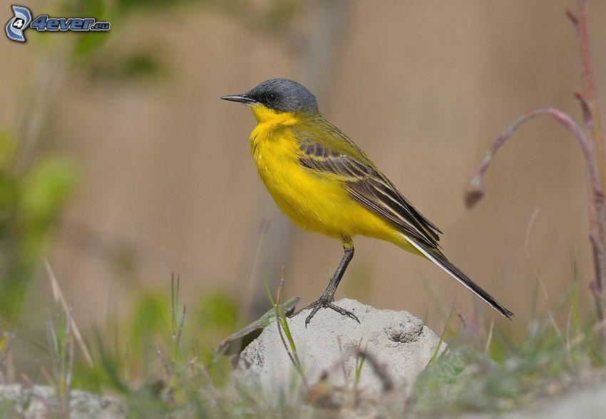 žltý vtáčik