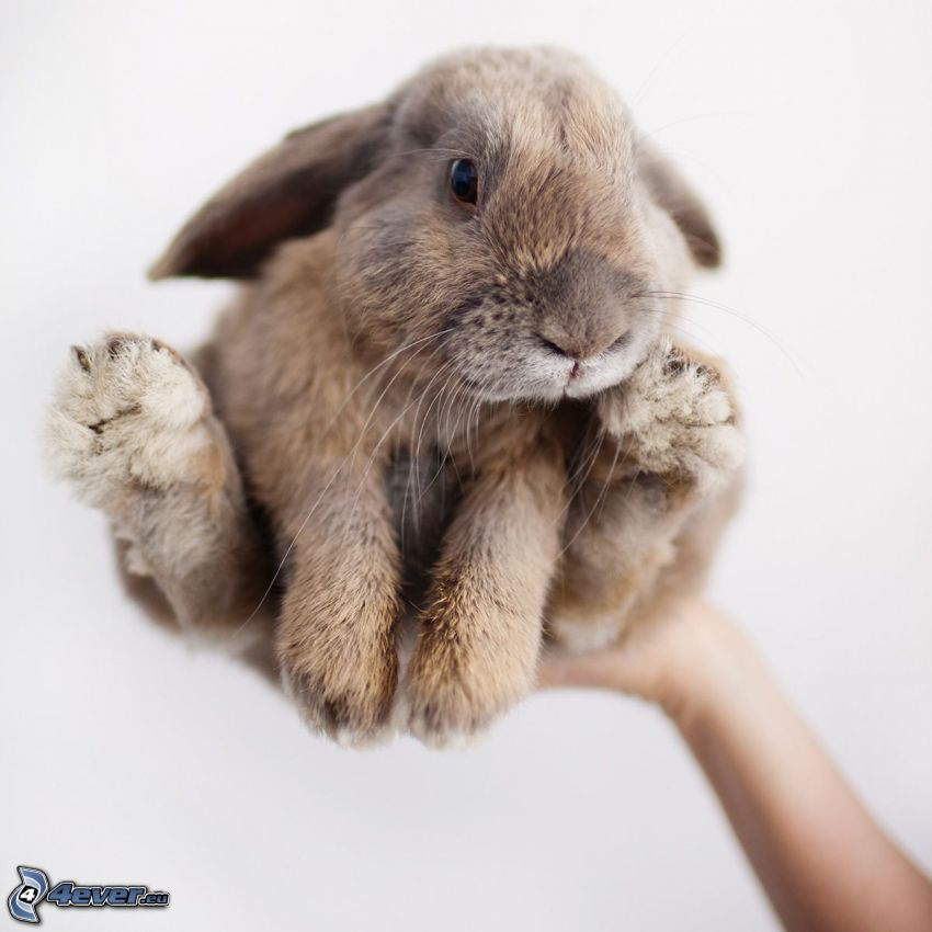 malý zajačik
