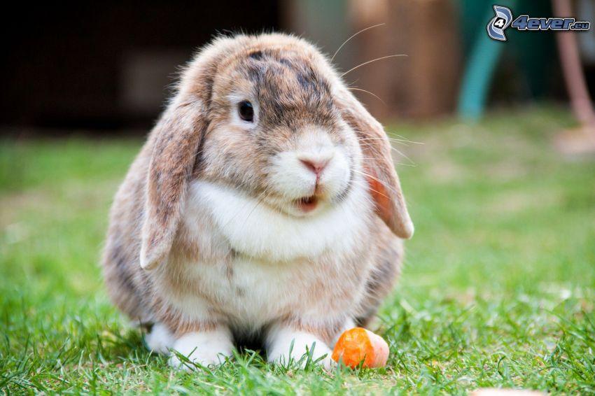zajačik, mrkva