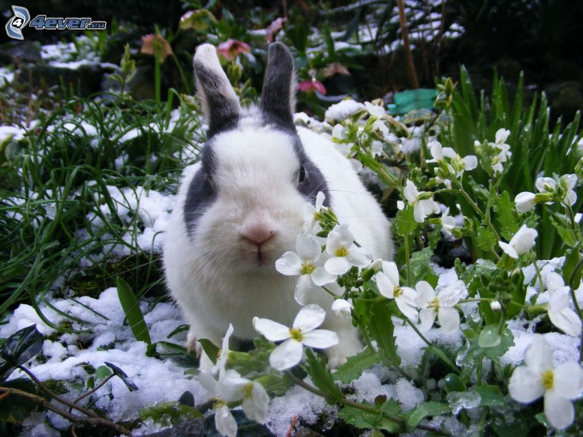 zajačik, snežienky