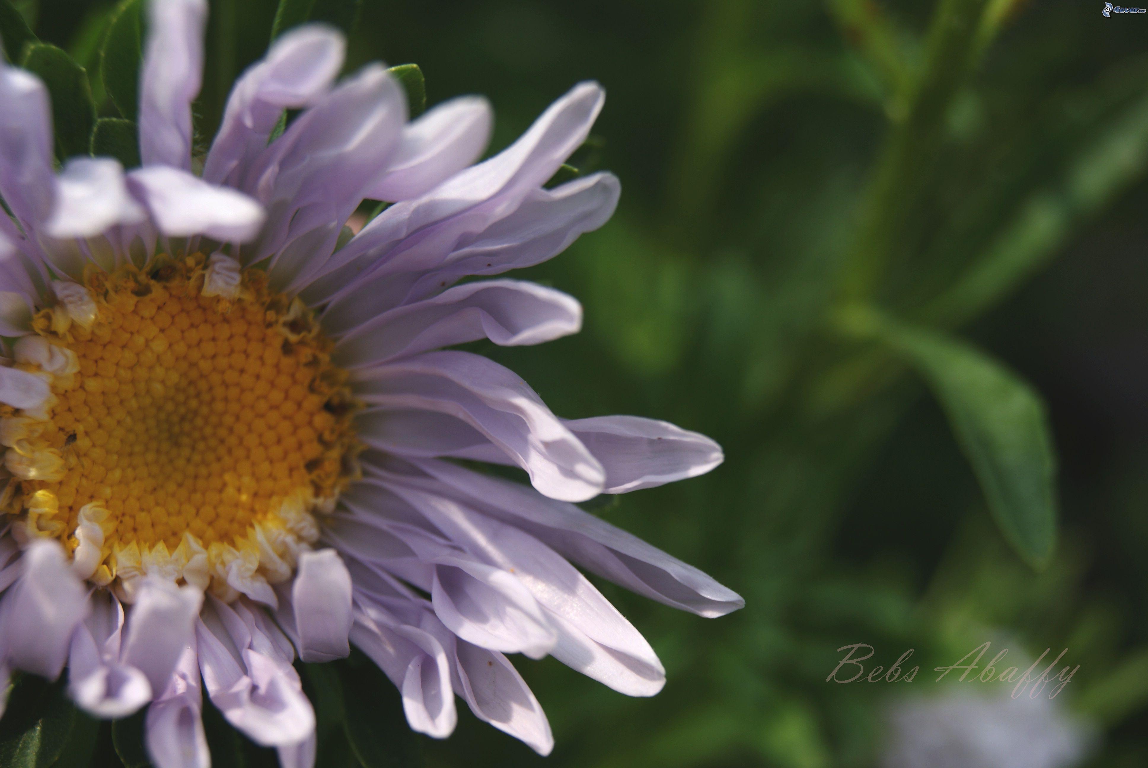http://obrazky.4ever.sk/data/obrazky/priroda/rastliny/%5Bobrazky.4ever.sk%5D%20biela%20margaretka%20148629.jpg