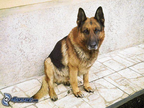 Nemecké vlčiak, pes