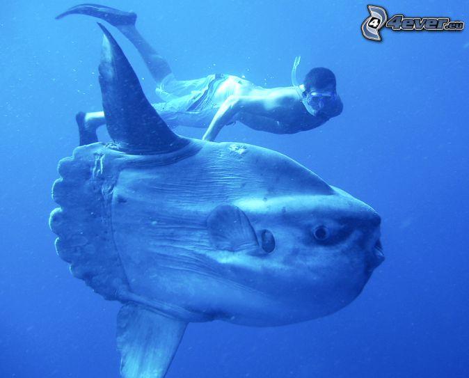 ocean sunfish, diver