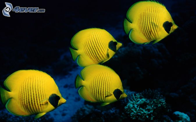 Coral reef fish yellow - photo#8
