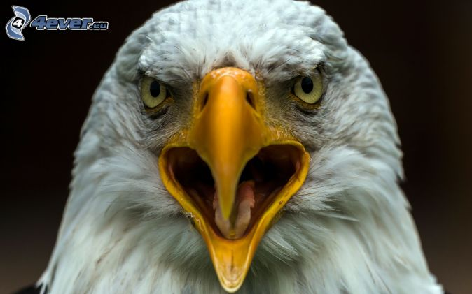Eagle beak - photo#15