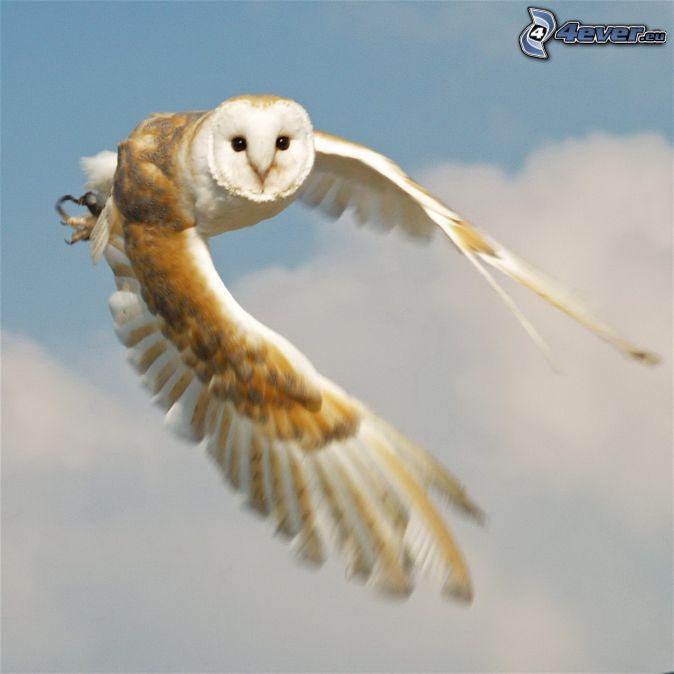 barn owl essays