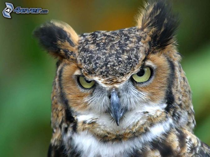 owl, look