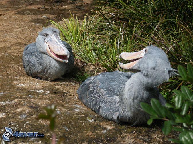 Shoebill African