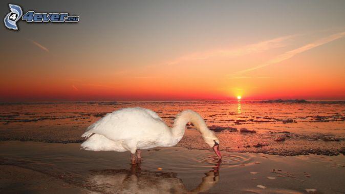 swan, orange sunset, lake