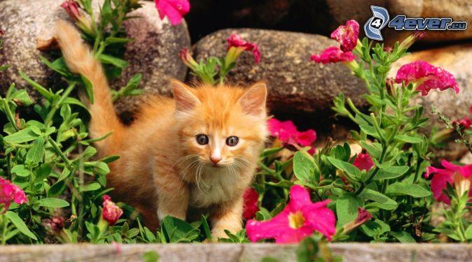 brown kitten, pink flowers