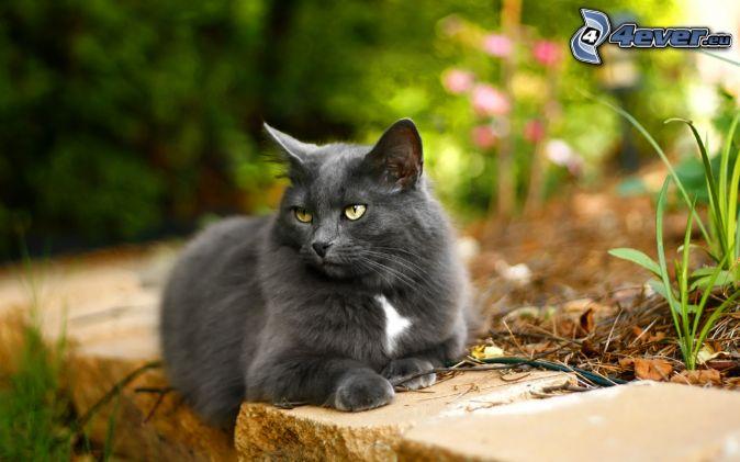 gray cat, look