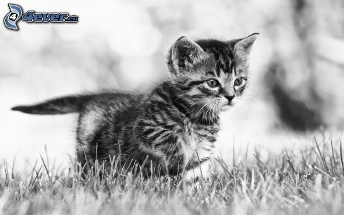 kitten, look, black and white photo