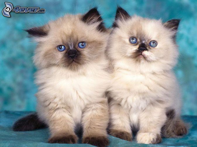 kittens, siamese cat