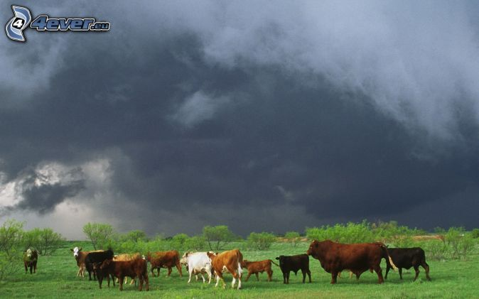 cow, meadow, dark sky