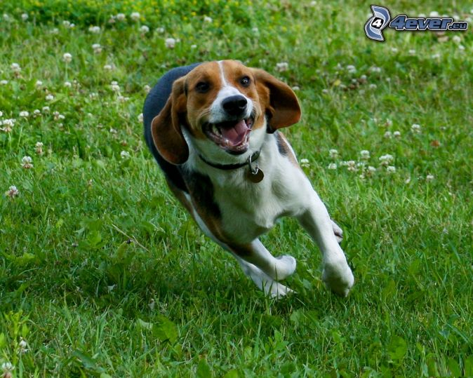 Beagle Running Beagles You Can't Resi...