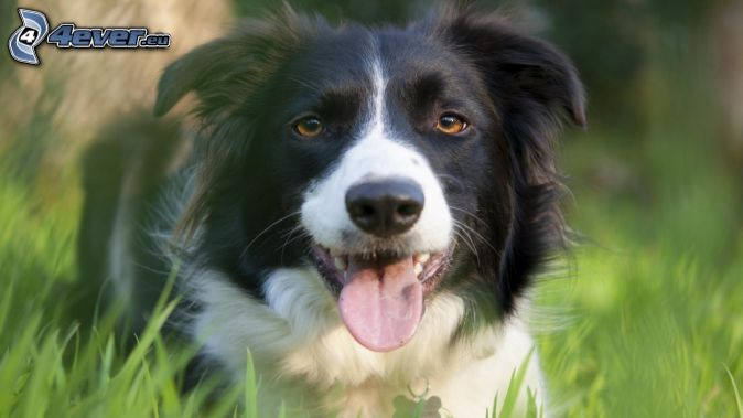 Border Collie, put out the tongue