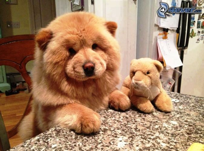 Chow Chow, Cuddly Toy, Table