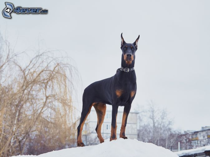doberman, snow