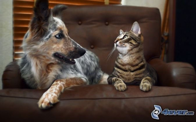 dog and cat, chair