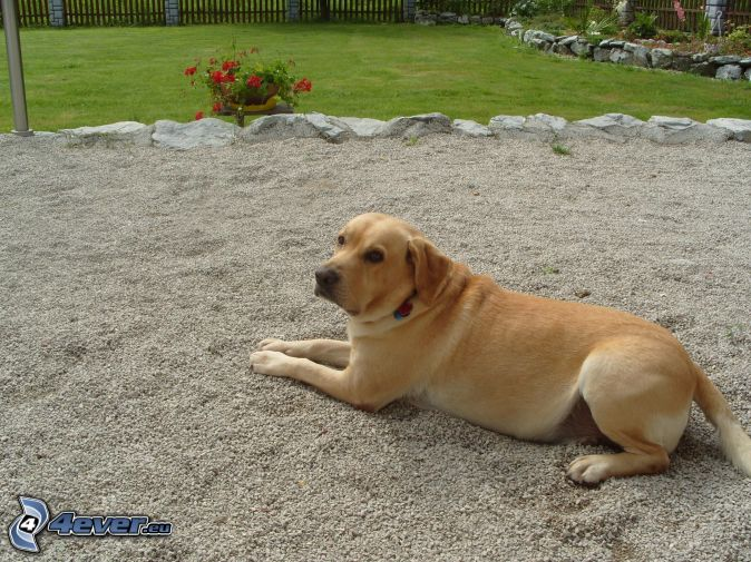 Labrador, garden, flower, fence, stone