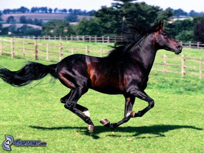 black horse, running, lawn, fence