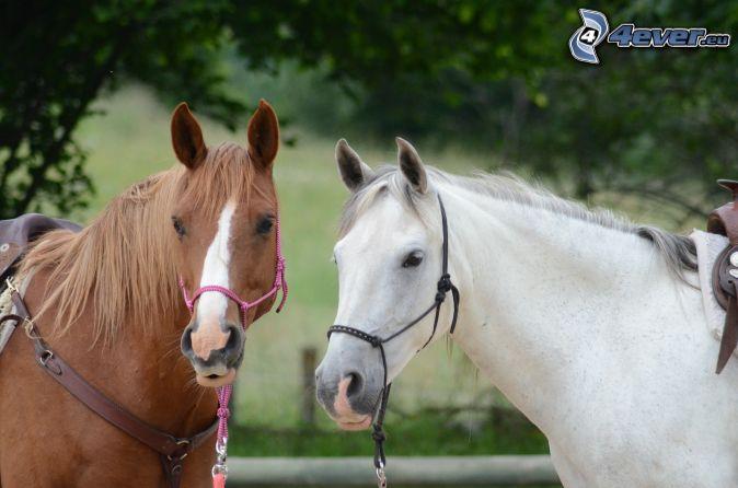 brown horse, white horse