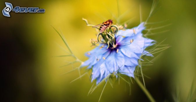 bee on flower, blue flower