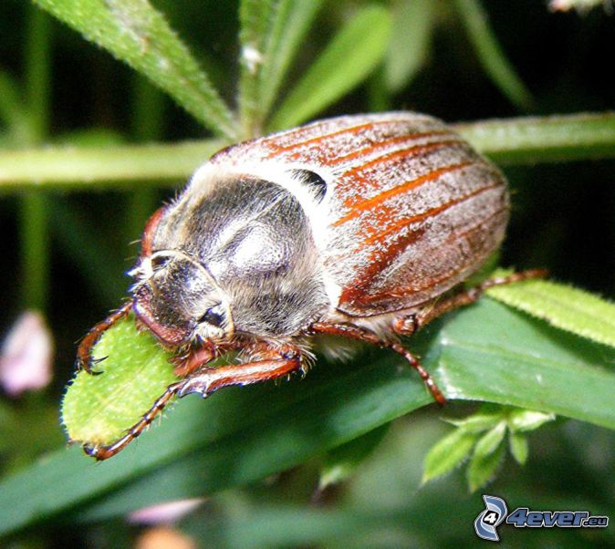 cockchafer, green leaves