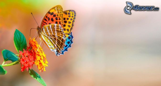 colourful butterfly, flower