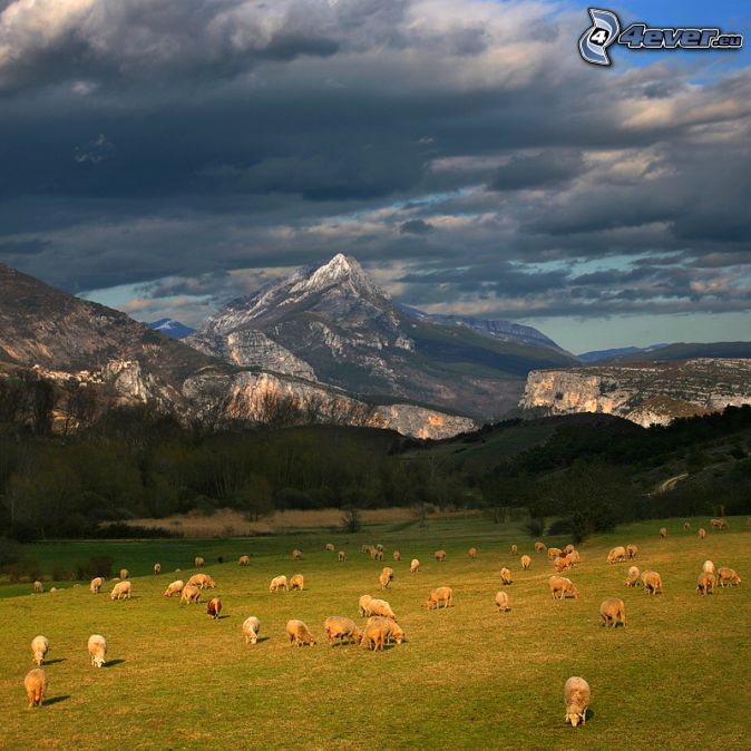 sheep, meadow, rocky hills, dark clouds