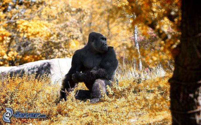 gorilla, autumn trees