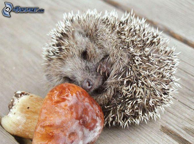 hedgehog, mushroom