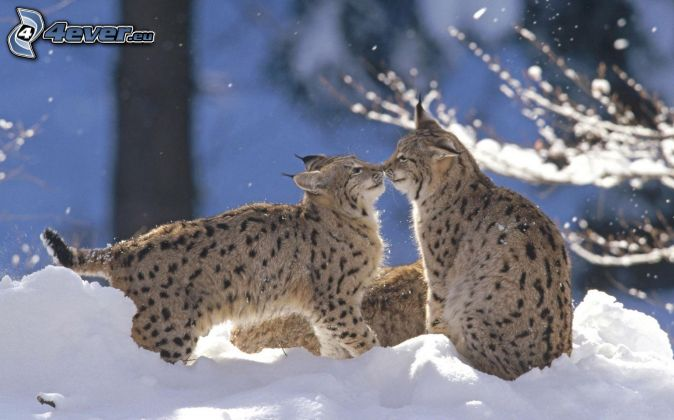 lynxes, kiss, snow