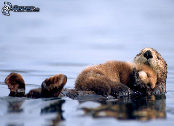otter, cub, sleep, water