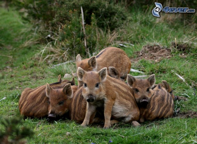 pigs, wild boars