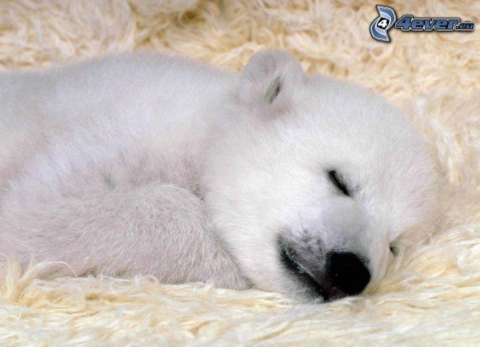 Baby polar bear sleeping - photo#9