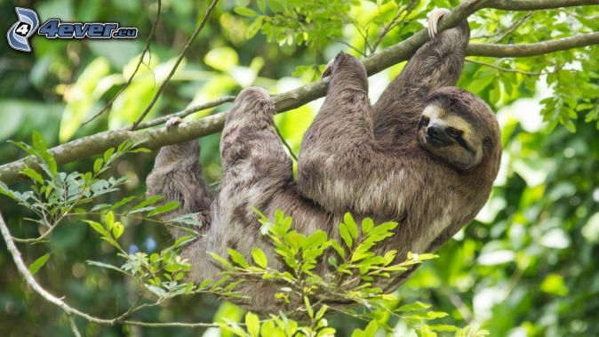 sloth, branch, green leaves