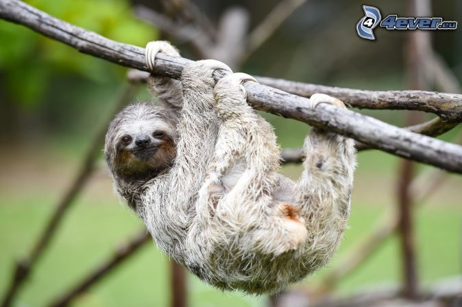 sloth, branches
