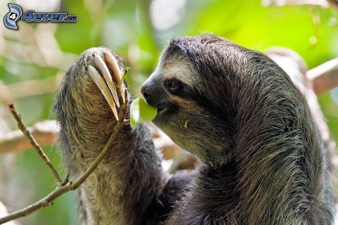 sloth, twig